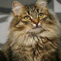 Sibirisk katt bild