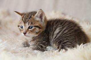 liten katt