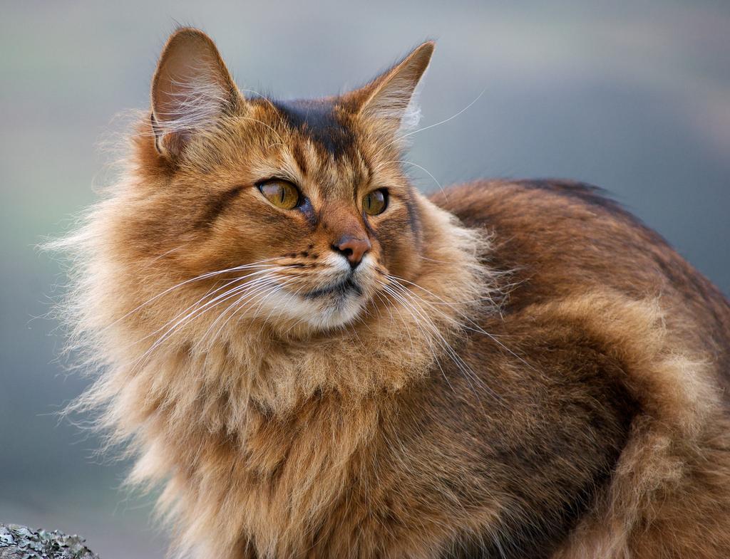somali katten