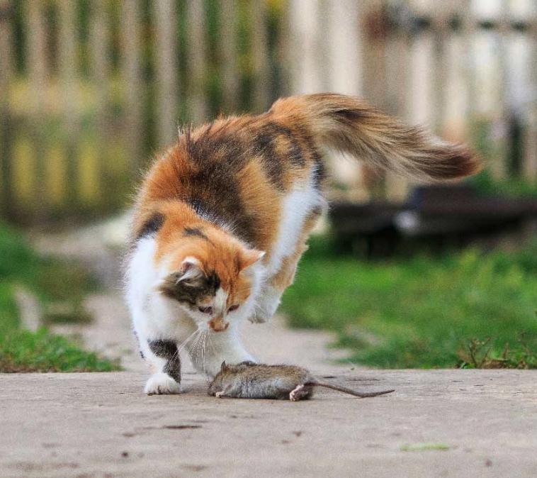 musgift dödligt för katter